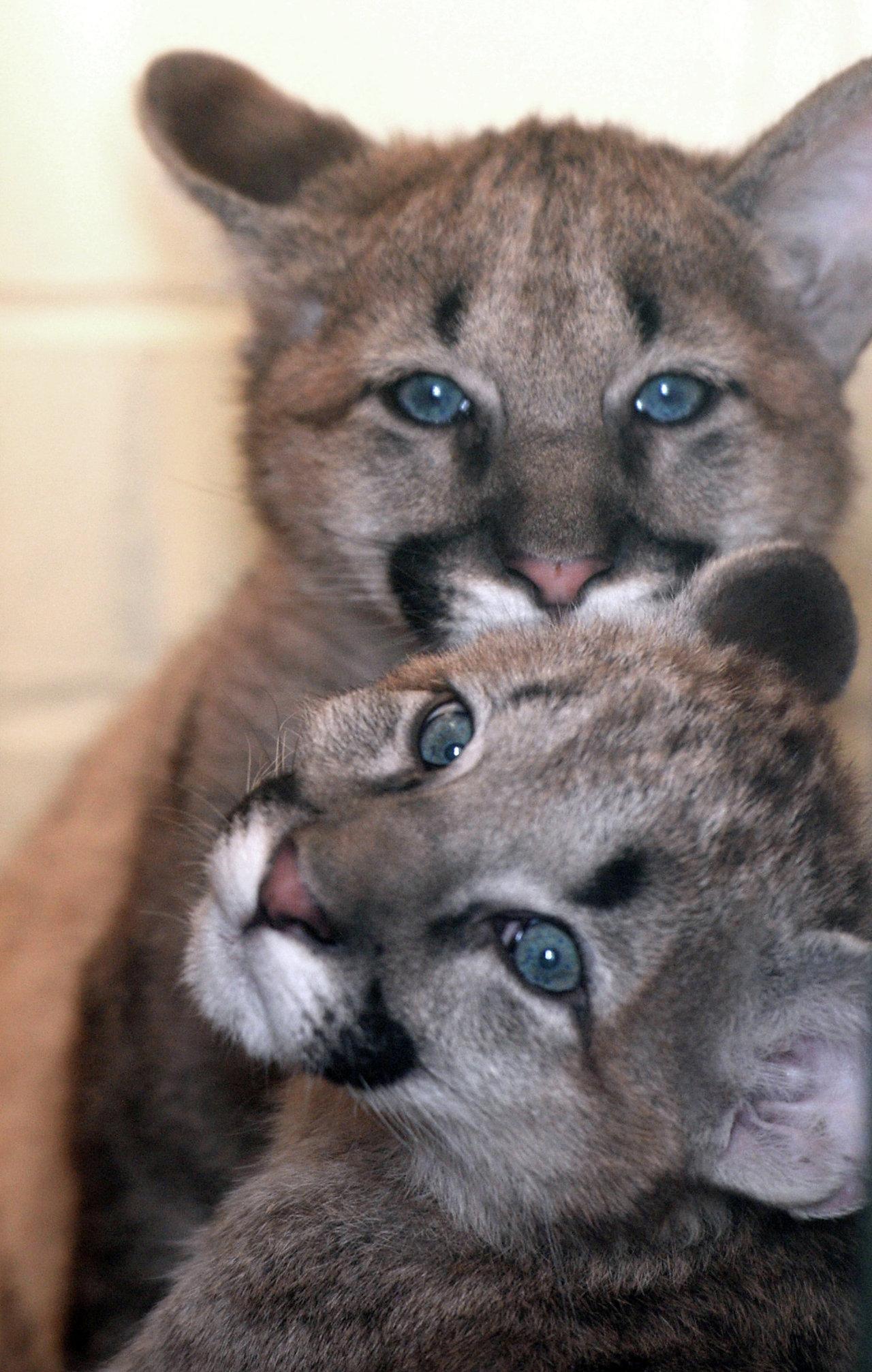 В зоопарке Екатеринбурга родились детеныши пумы