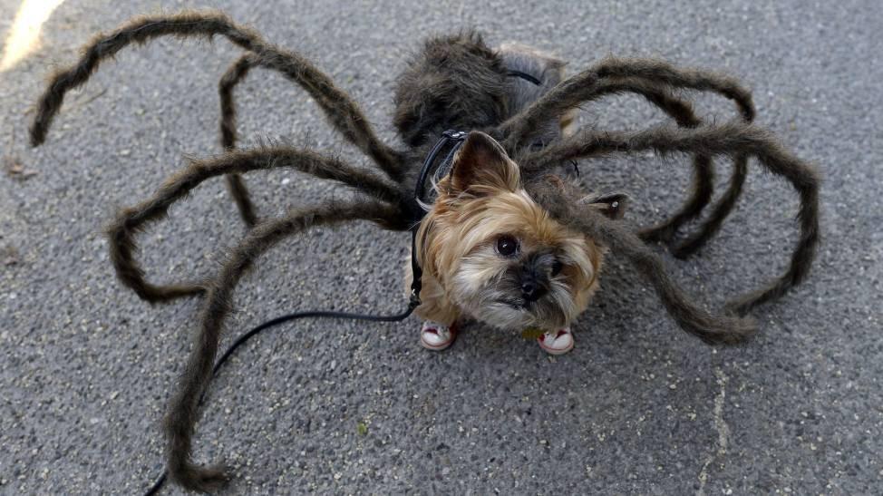 Пес-паук