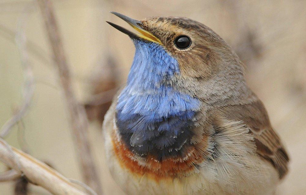 Птицу-пародиста варакушку белорусские орнитологи объявили птицей дня