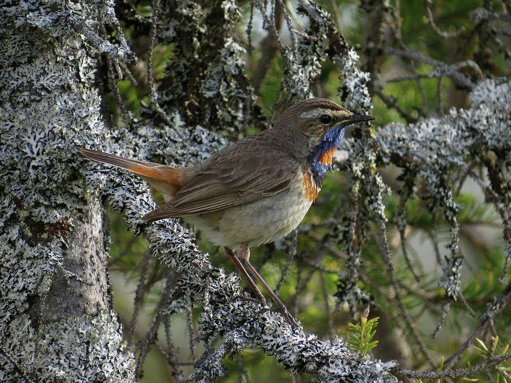 Название - шведский соловей - птица получила из-за умения подражать голосам других птиц