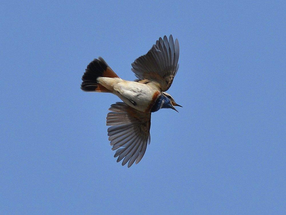 Это редкий на гнездовании в Беларуси перелетный мигрирующий вид птиц