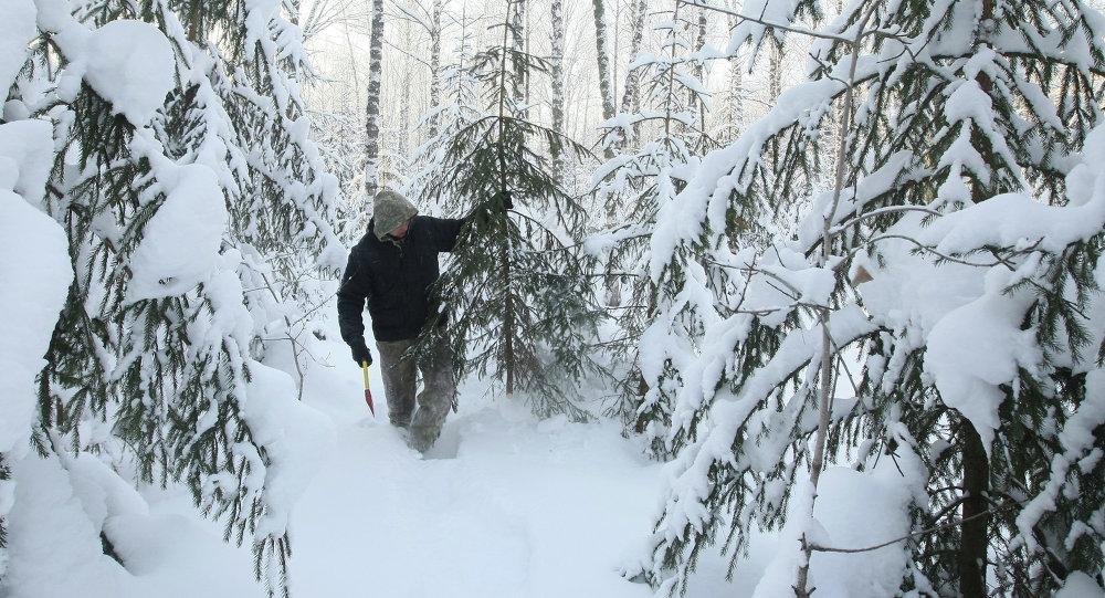 Заготовка новогодних елок в новосибирском лесничестве