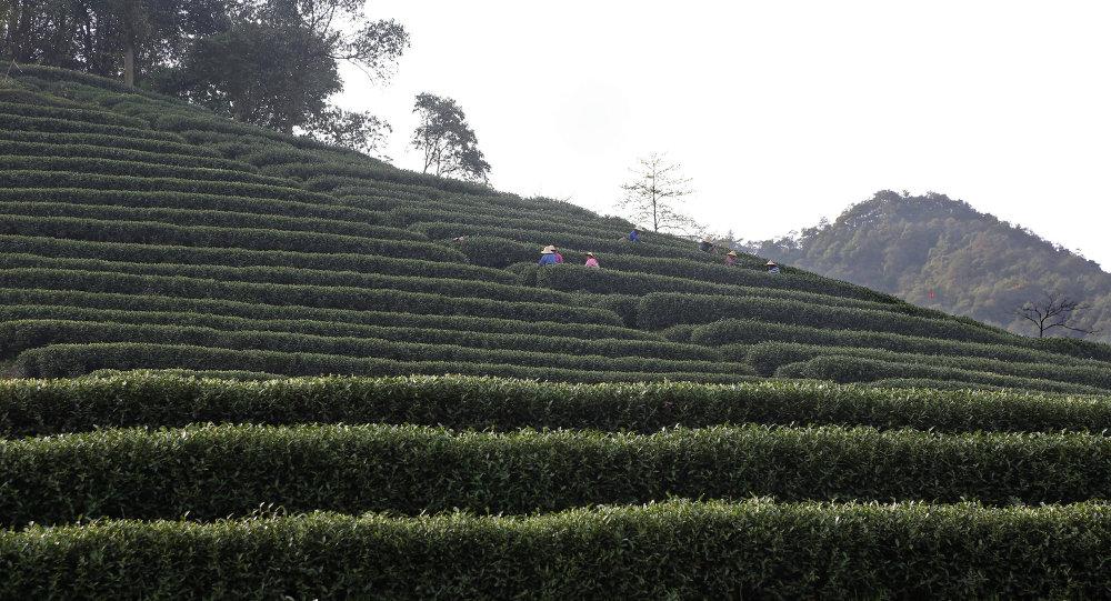 Чайная плантация в Ханчжоу.