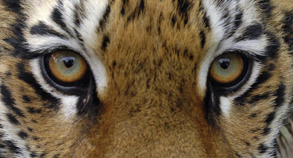 Тигрица Маша, подаренная в прошлом году Владимиру Путину на День рождения