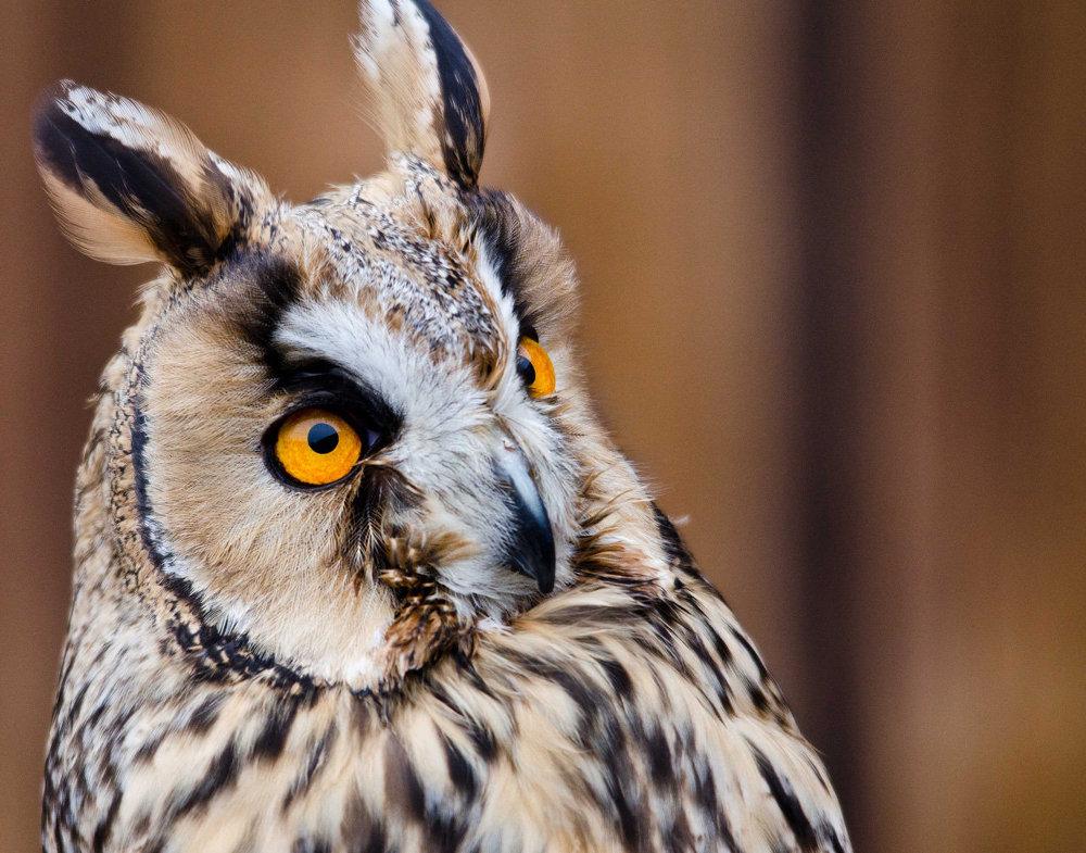 Ушастая сова птица года