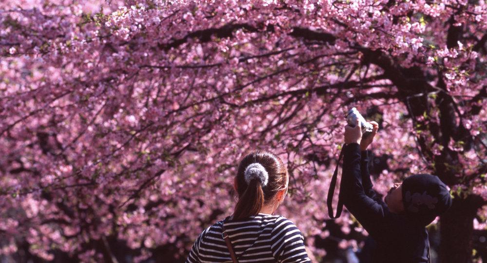 Цвіценне сакуры