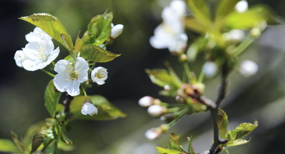 Квітнеючая яблыня ў батанічным садзе