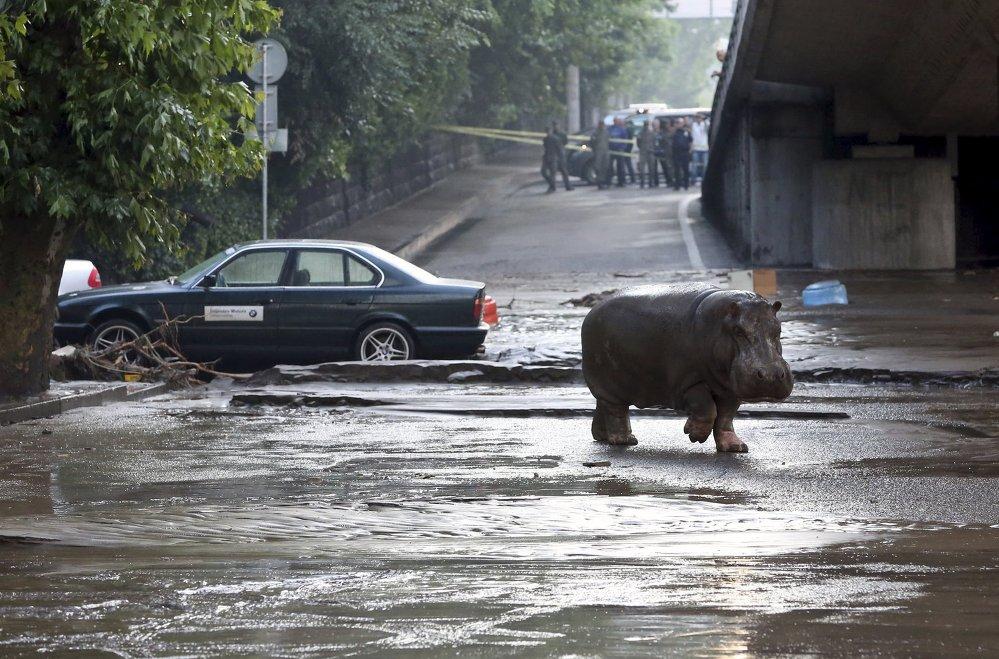 Бегемот ходзіць па затопленых вуліцах Тбілісі