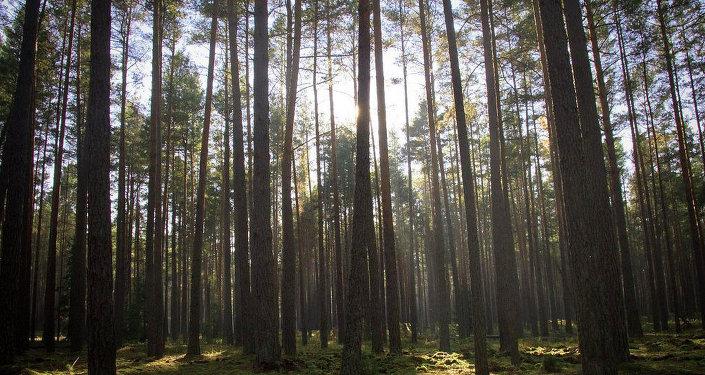 Сосны в Беловежской пуще