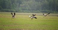 Жураўлі ляцяць над полем