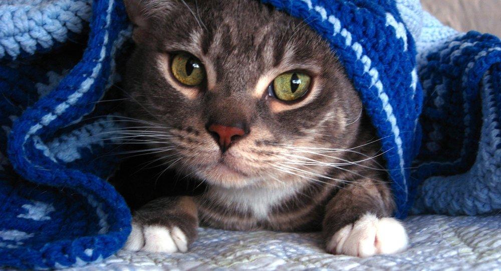 Кот под пледом