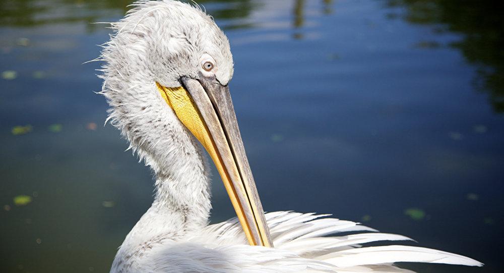 Курчавы пелікан