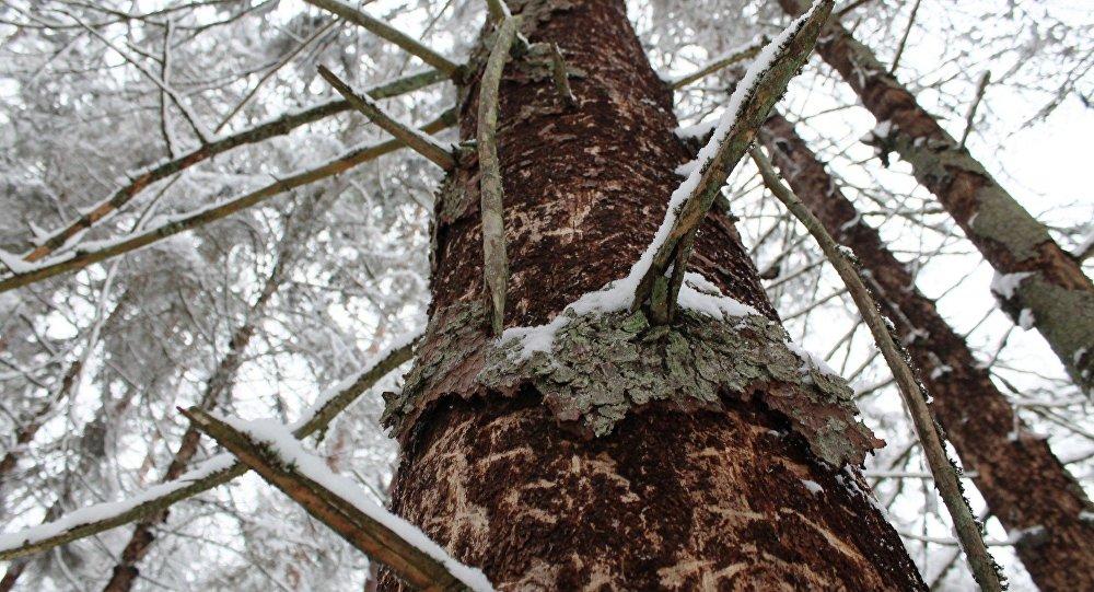 Зараженное дерево в пуще