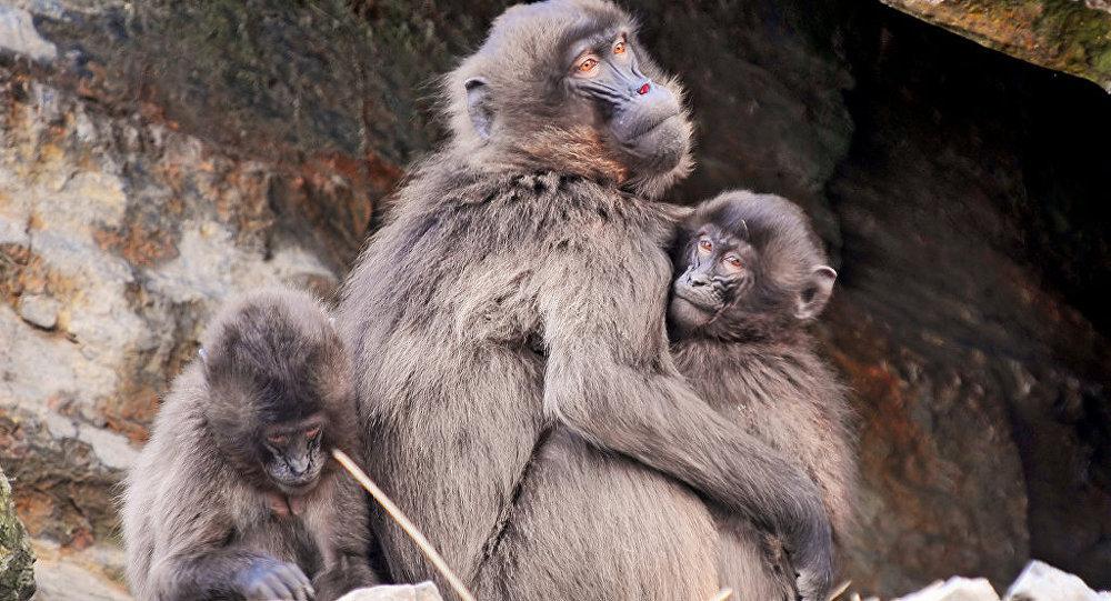 Бабуіны