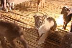 СПУТНИК_Львица среди ягнят: шестимесячная хищница Маша подружилась с отарой овец