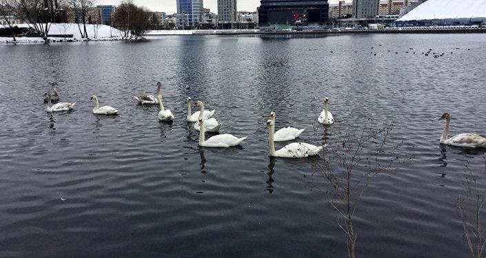 Лебеди прилетели на Свислочь