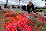 Покупка тюльпанов в теплице.