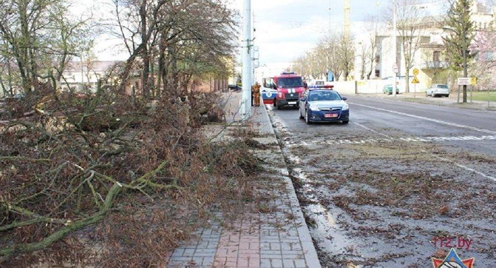 Поваленные в результате сильного ветра деревья в Бресте