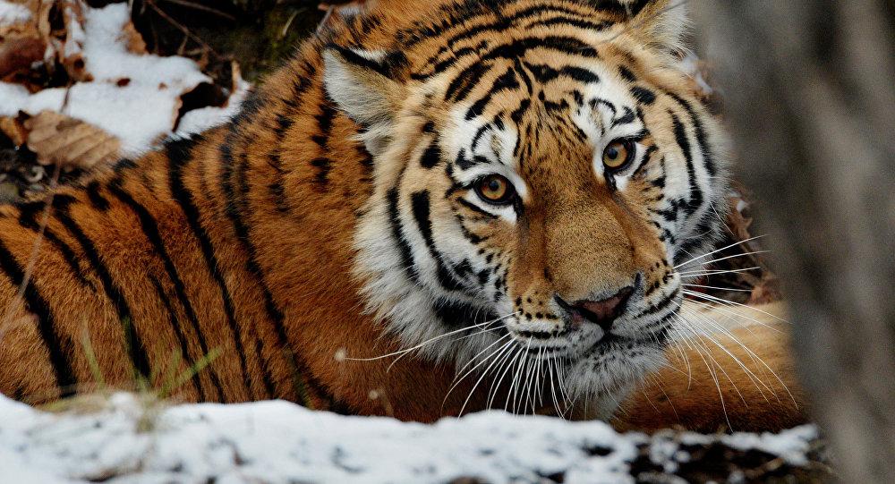 Амурские тигры в Приморском сафари-парке