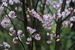 Цветение сакуры, архивное фото