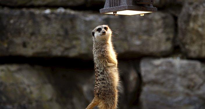 Сурыкат цешыцца лампавым цяплом