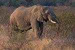 Африканский слон. Архивное фото