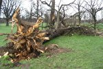 Поваленное ветром дерево. Архивное фото