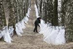 Заготовка березового сока в Беларуси