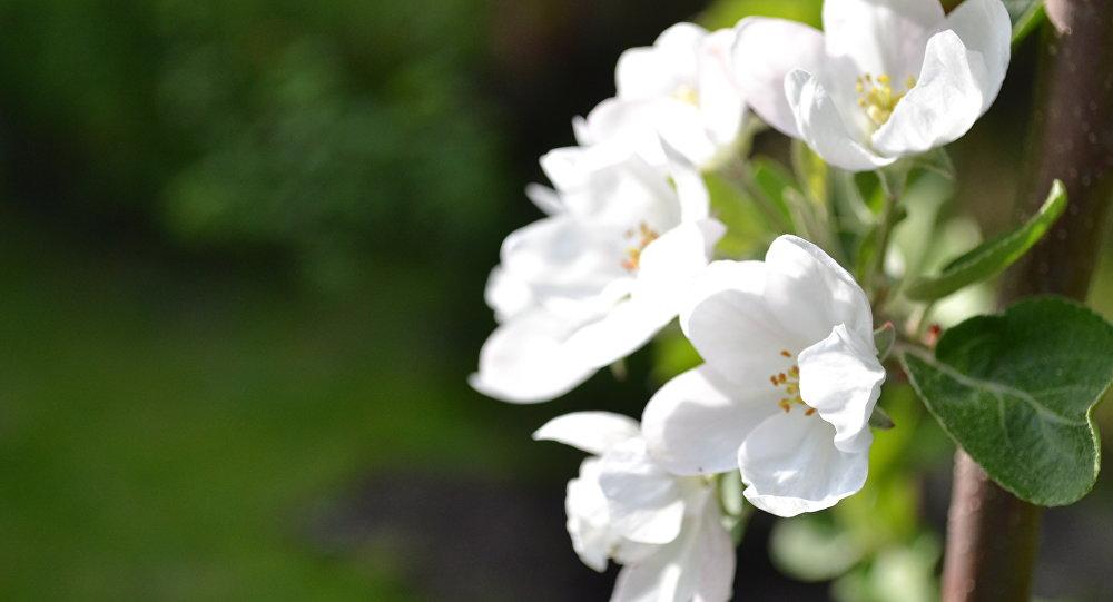 Квіценне яблыні