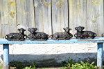 Формы для вясельных баранаў