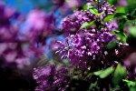 Квітнеючы бэз