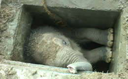 Спутник_Застрявшего в водостоке в Шри-Ланке слоненка вытаскивали за ноги и хобот