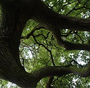 Стары дуб