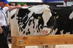Первая буренка Беларуси: дефиле лучших коров прошло в Минске
