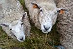 Овцы, архивное фото