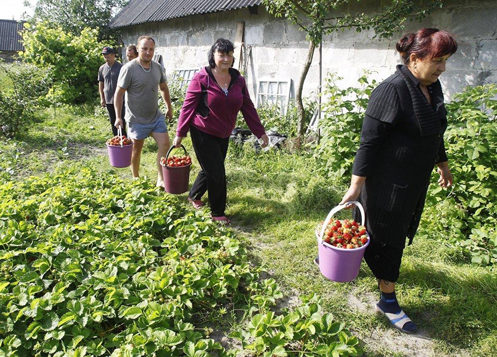 Збор клубнікі ў Брэсцкай вобласці