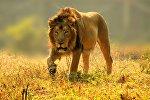 Лев, архивное фото