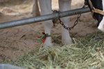 Конкурс на лучшую корову на выставке Белагро