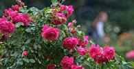 Ружы квітнеюць