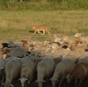 СПУТНИК_Львица-пастух, или Как Машка охраняет овец на ферме в Дагестане