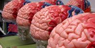Макеты чалавечага мозга. Архіўнае фота