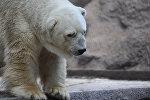 Белый медведь Артуро из аргентинского зоопарка