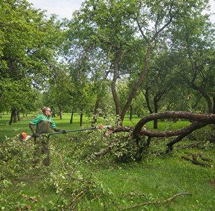 Паламаныя дрэвы ў Лошыцкім парку