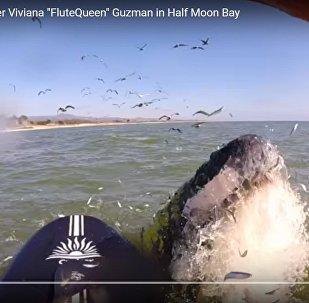 Неожиданная встреча: кит вынырнул прямо перед серфером