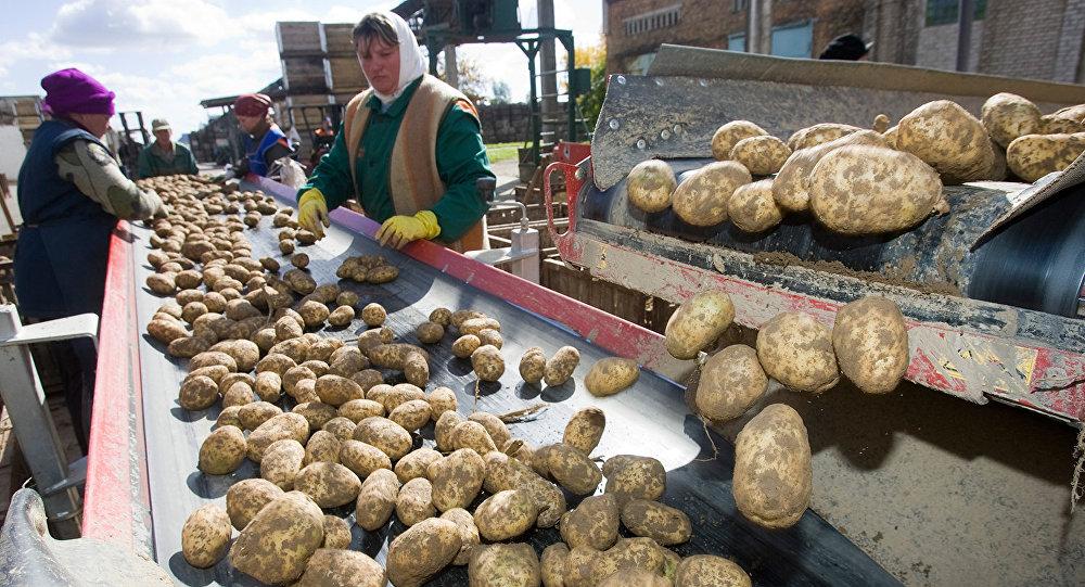 Сортировка картофеля в агрокомбинате Ждановичи, архивное фото