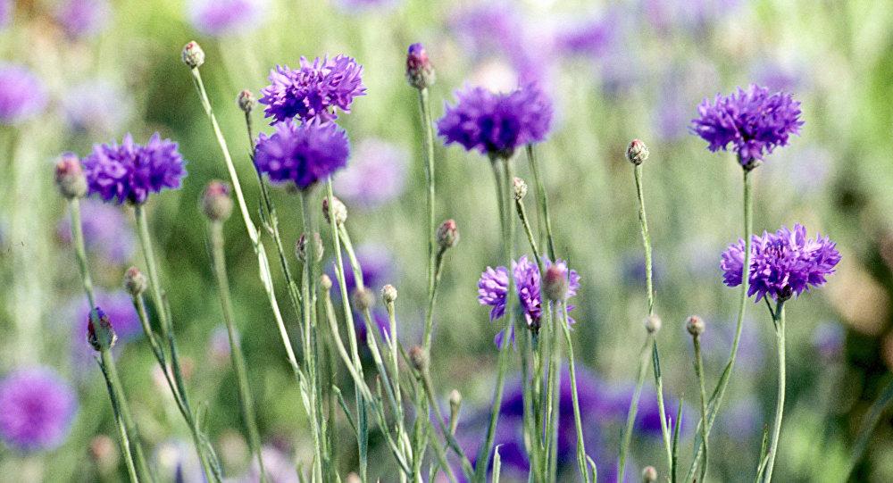 Квітнеюць васількі