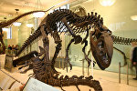 Скелет аллозавра в музее