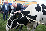 Во время посещения одной из ферм сельхозпредприятия Савушкино Александру Лукашенко подарили корову для личного подсобного хозяйства, 15 августа 2016 года