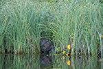 Бобер в прибрежной траве