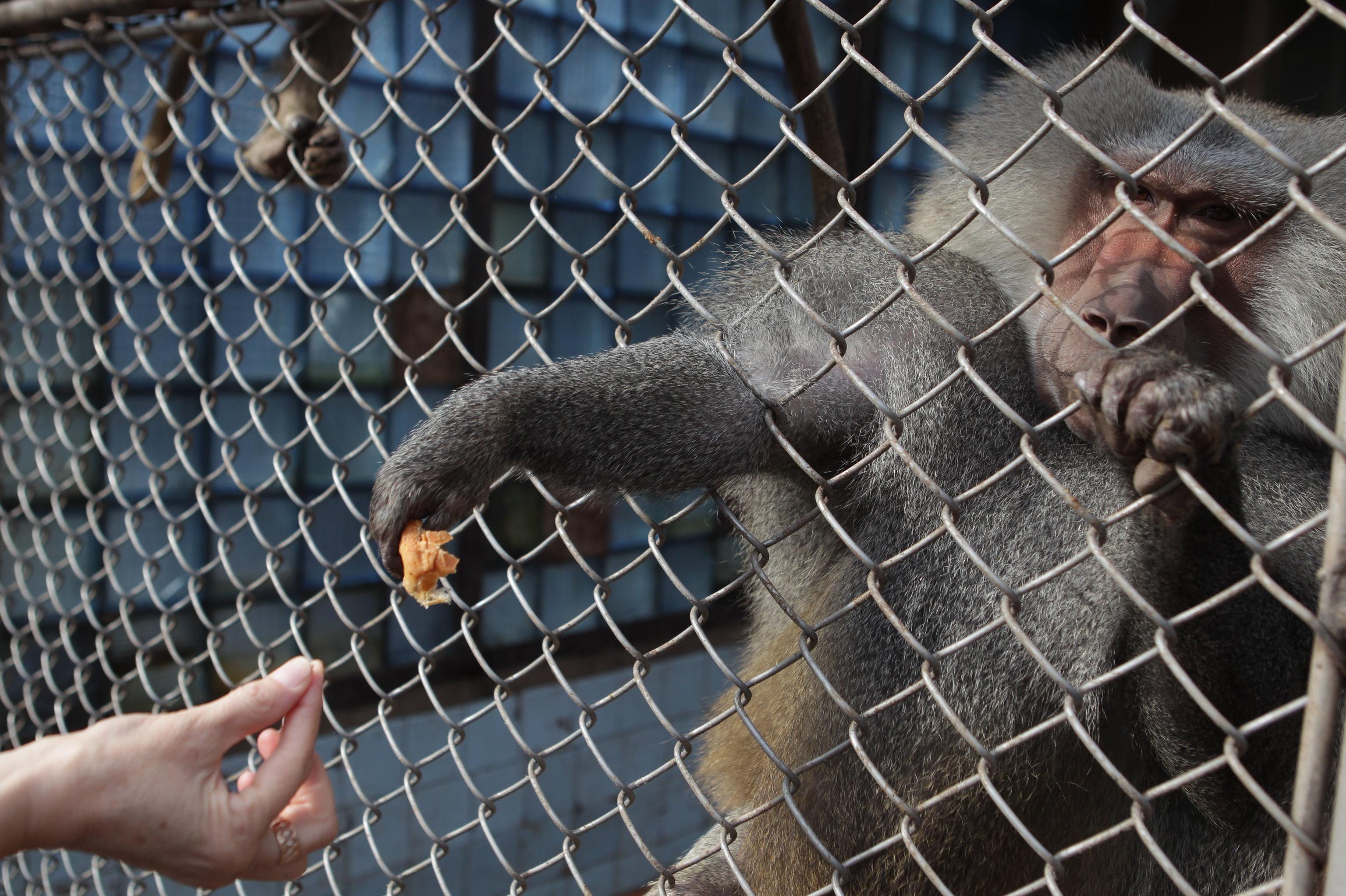 Детеныш обезьяны-капуцина